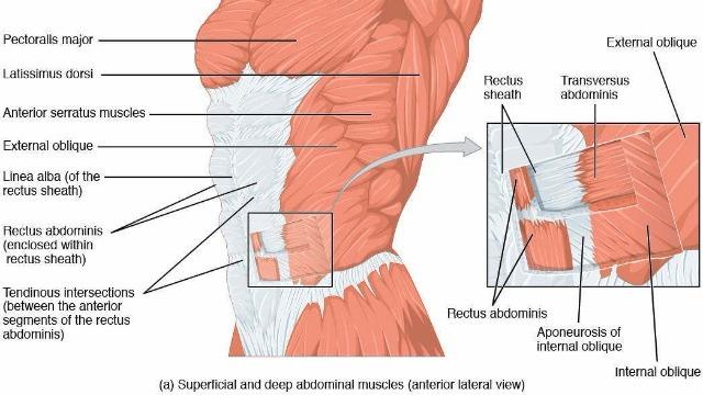 Anatomia dei muscoli addominali