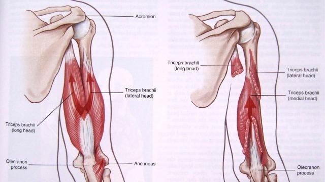 Anatomia del muscolo tricipite