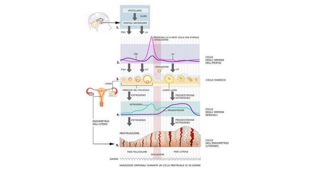 Come funziona il ciclo mestruale